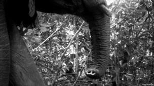 African elephant (c) TEAM Network