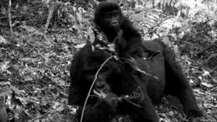 Mountain gorillas (c) TEAM