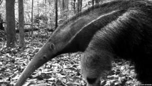 Giant anteater (c) TEAM Network