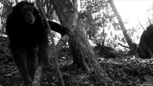 Chimpanzees in Uganda (c) TEAM Network
