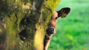 A cow partially hidden behind a tree