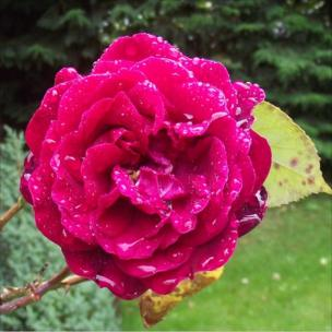 Pink Rose with rain drops on it