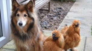 Molly the cross-sheltie dog with two silkie hens