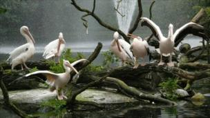 Pelicans at the at the zoological gardens in Rostock, Germany.