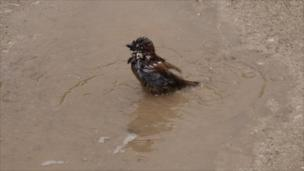A sparrow washes in a muddy puddle