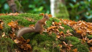 Red squirrel in woods near Dores, Inverness