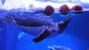 Penguins bobbing for apples at London Zoo
