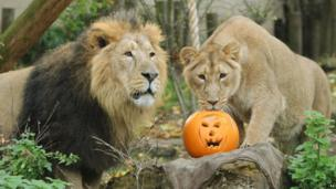 A pair of lions with a pumpkin