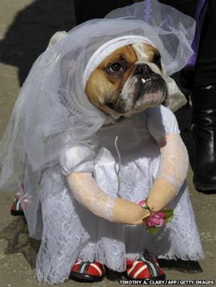 Bulldog dressed as a bride