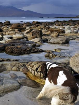 William the springer spaniel on Camas Sgiotaig beach