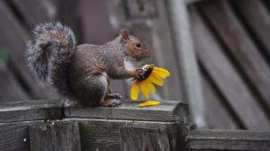 Squirrel eating a sunflower
