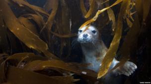 A seal in kelp