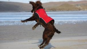 Dog jumping on Uig beach on the Isle of Lewis