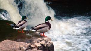 Ducks peering into a river