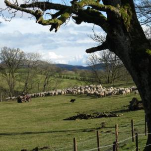 Farmer gathers sheep in a field