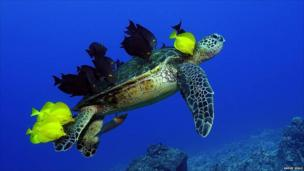 Fish eating algae and parasites off a green turtle