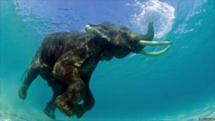 Elephant snorkelling in water