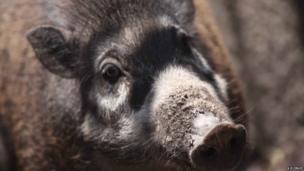 Warty pig (c) Neil D'Cruze