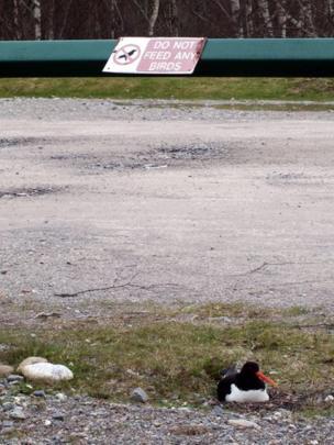 Oystercatcher sitting on the ground