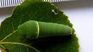Canadian tiger caterpillar (Papilio canadensis) on a leaf