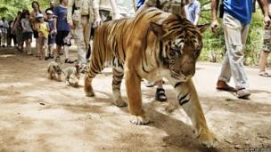 A tiger walks beside pedestrians on a street in Thailand. Baby tiger cubs follow close behind.