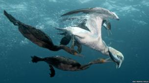 The underwater photograph shows two birds trying to steal a sardine from the jaws of a gannet.