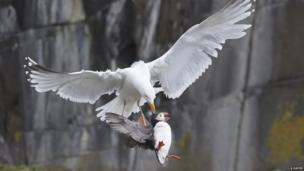 Herring gull and puffin (c) Amanda Hayes / BWPA