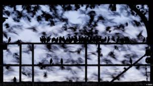 Starlings watching starlings (a) Phil Jones / BWPA