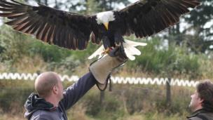 A bald eagle lands on Greig's arm