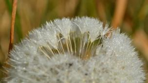 Frost on a dandelion