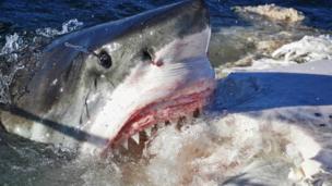 A Great White Shark