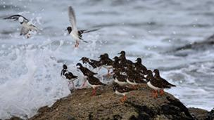 Turnstones in the Firth of Forth at North Berwick