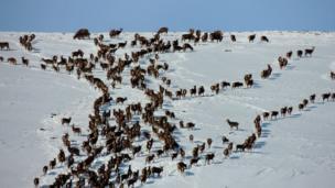 Deer on Badandun hill, Glen Isla.