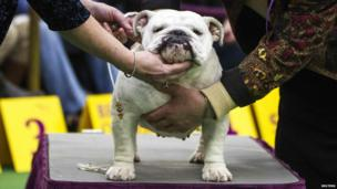 This judge is checking out the musculature of an English Bulldog.