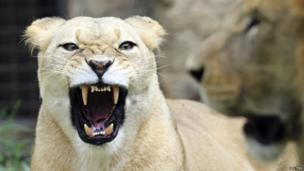 A snarling lioness.