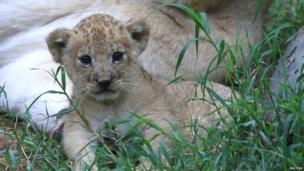 A lion cub in the grass.