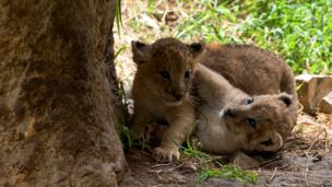 Two lion cubs play next to a tree.
