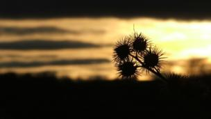 Thistle in silhouette