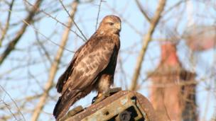 Nigel Yates said he found this buzzard while I was out driving one morning recently near Llangrannog in west Wales.