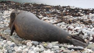 Isle of Man seal pups in Fleshwick Bay