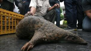 An Indonesian official shows a pangolin
