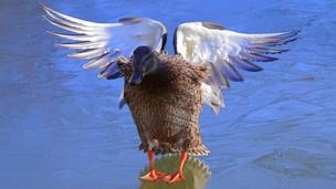 duck landing on frozen pond