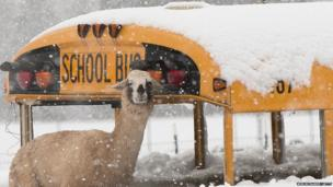 A llama and school bus in the snow