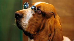 Basset Hound Larry after coming third in class at Crufts 2013