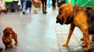 A dachshund looks at bloodhounds during Crufts 2013,