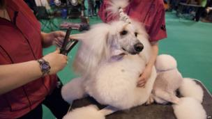 An owner uses hair straighteners whilst grooming her Standard poodle during the second day of the Crufts dog show in Birmingham, in central England on March 8, 2013.