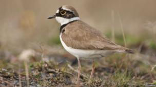 Little ringed plover at Attenborough Nature Reserve