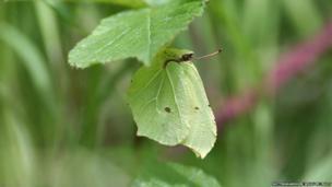 Brimstone buttefly