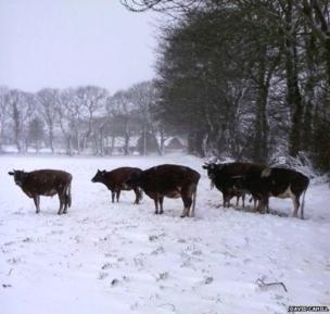 Jersey Cows braving the snow