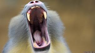 A mandrill yawns